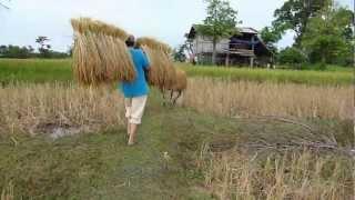 Harvesting Rice In Champassak, Laos