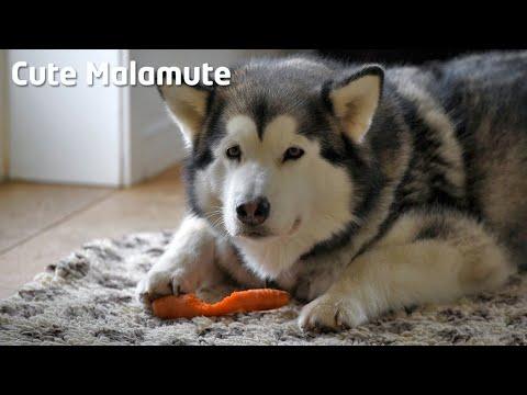 Alaskan Malamute eating carrots in a weird way