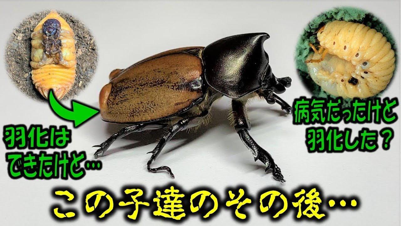 蛹化不全 カブトムシ