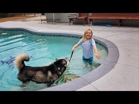 Malamute Is Little Girls Excuse To Go Swimming In A Freezing Pool.............lmbo