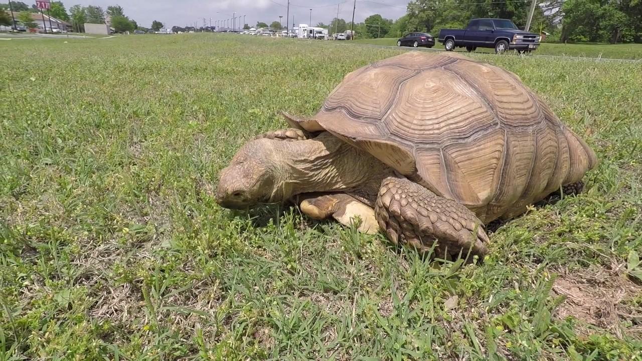Turtle Turtle Turtle - African Land Tortoise rescue