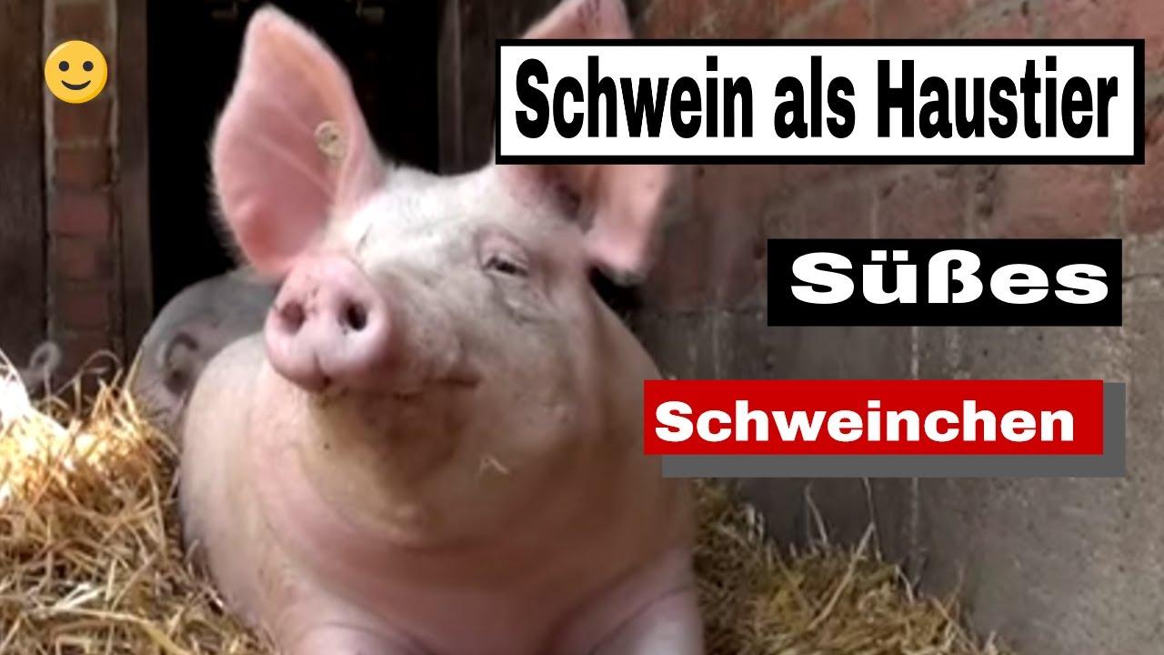 schwein als haustier s es schweinchen youtube