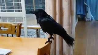 самая умная птица в мире