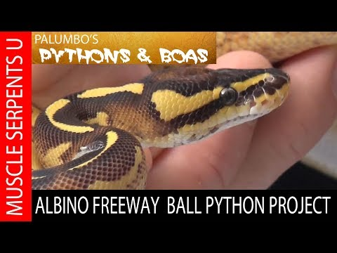 FREEWAY Ball Python Genetics at Muscle Serpents University