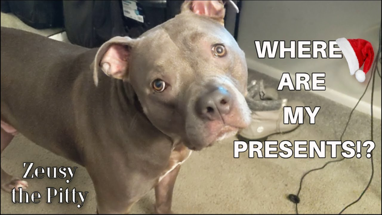 Funny Pitbull Dog Talking Then Argues For His Christmas Presents!