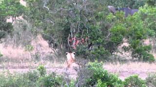 Kenia, Masai Mara; 25/10/2010; 6.45 hs; Masai Lion (Panthera leo nu...