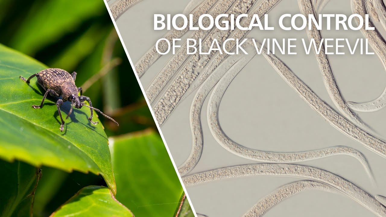 how to get rid of black vine weevil