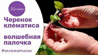 🌺 Черенок клематиса – волшебная палочка от Nina Petrusha channel Clematis TV- часть 2