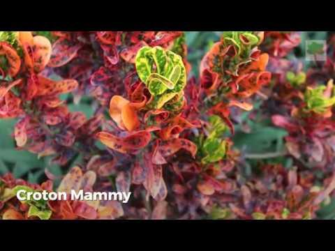 Popular Croton Varieties