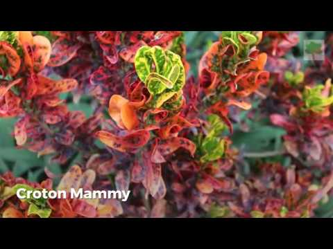 Croton Plant Care: Learn How To Grow The Colorful Codiaeum Plants