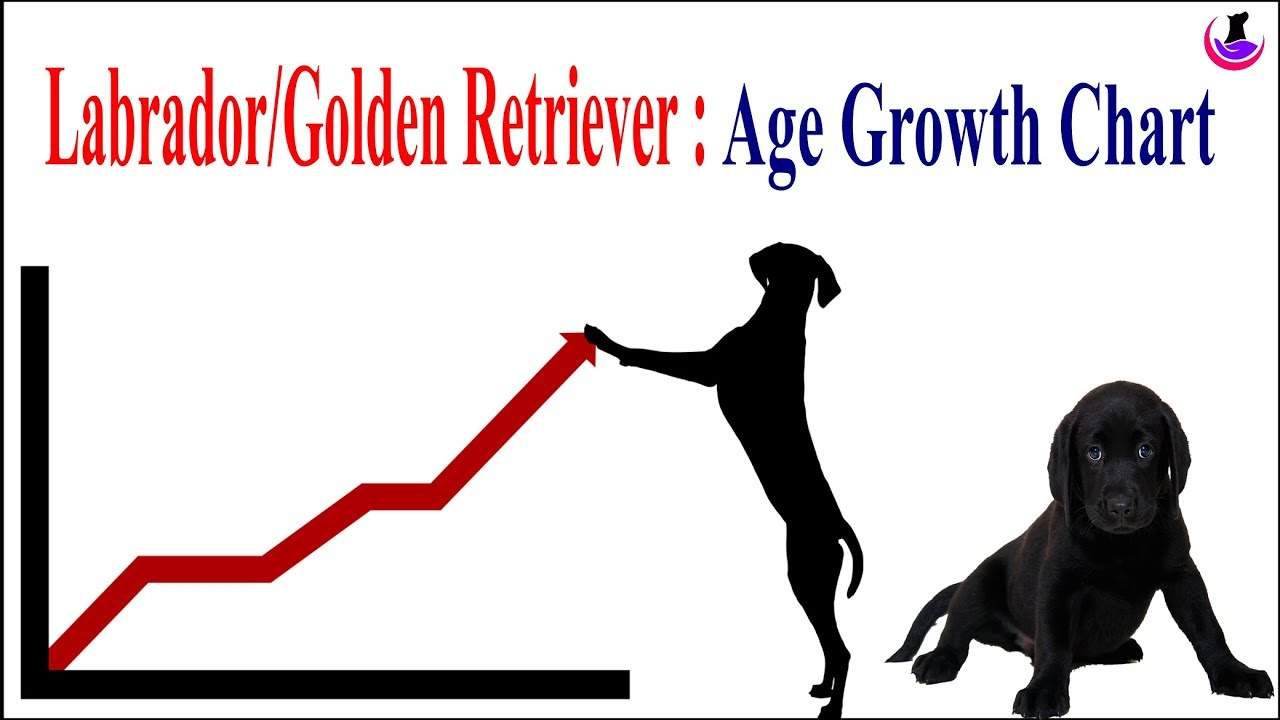 Labrador Golden Retriever Age Weight