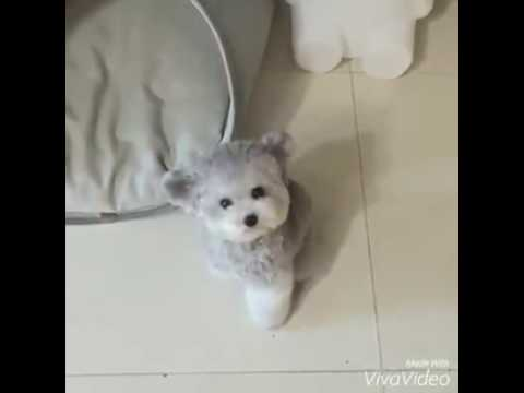 Best Maltese Chubby Adorable Dog - hqdefault  Snapshot_782482  .jpg