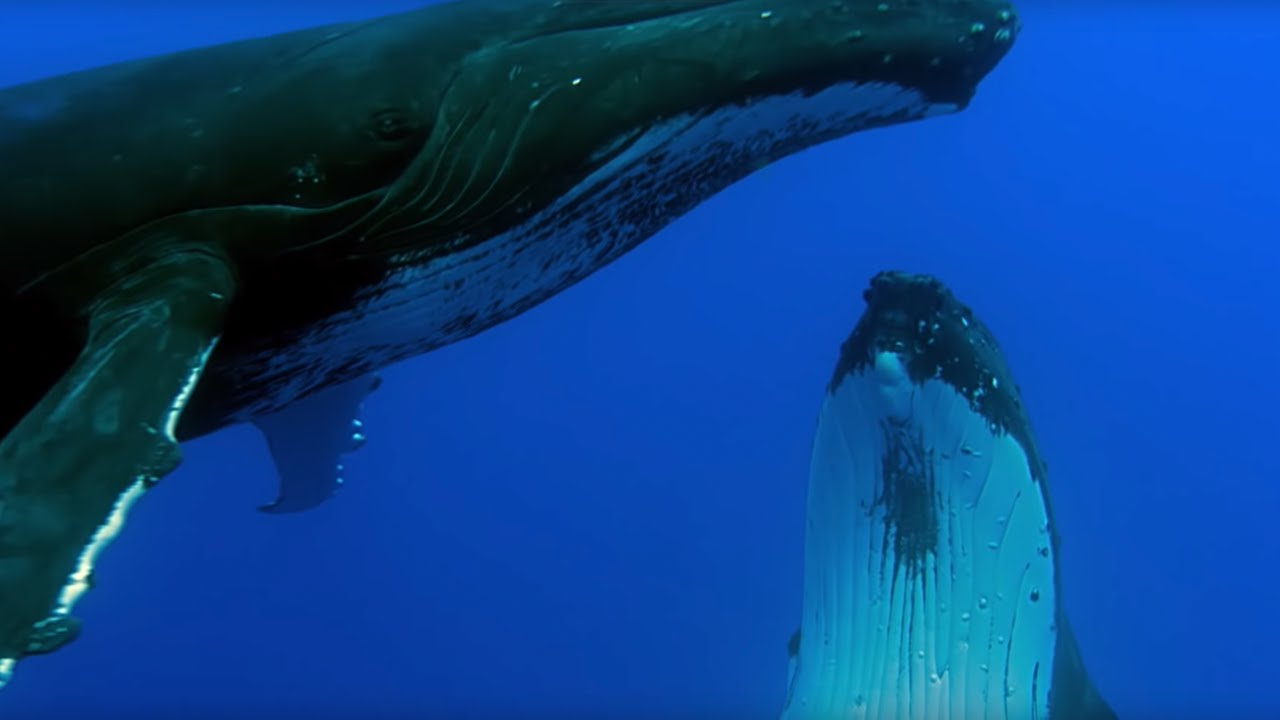 Beau Two Beautiful Humpback Whales Dance | Animal Attraction | BBC   YouTube