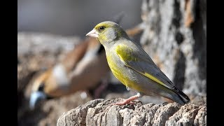 Орнитологические наблюдения поведения птиц (off topic)