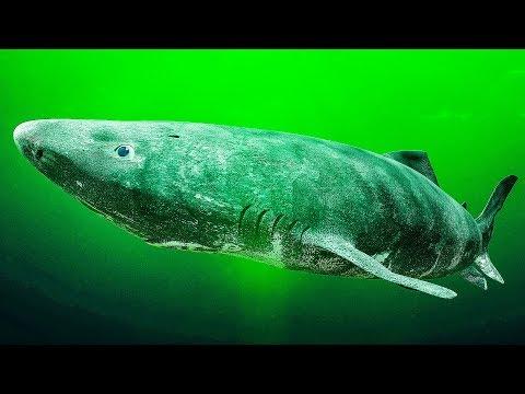 科學家發現了可能有512歲的古老鯊魚