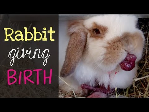 Holland Lop Rabbit Giving Birth
