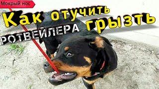 ОЧЕНЬ УПРЯМЫЙ РОТВЕЙЛЕР! КАК отучить собаку грызть поводок.