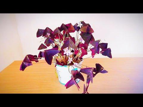 Kauçuk bitkisi çoğaltma | Ficus elastica çoğaltma yöntemi