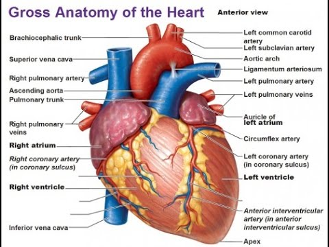 Human heart in hindi youtube human heart in hindi ccuart Image collections