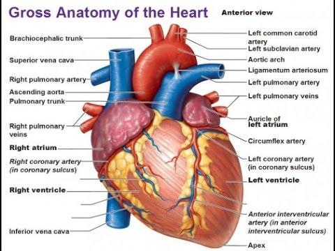 Human Heart in hindi| मनुष्य का हृदय  YouTube