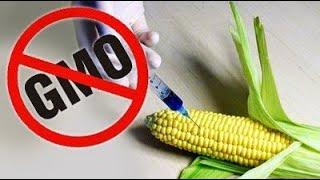✅ Żywność GMO - znakowanie i produkty. Korzyści i zagrożenia związane z żywnością GMO
