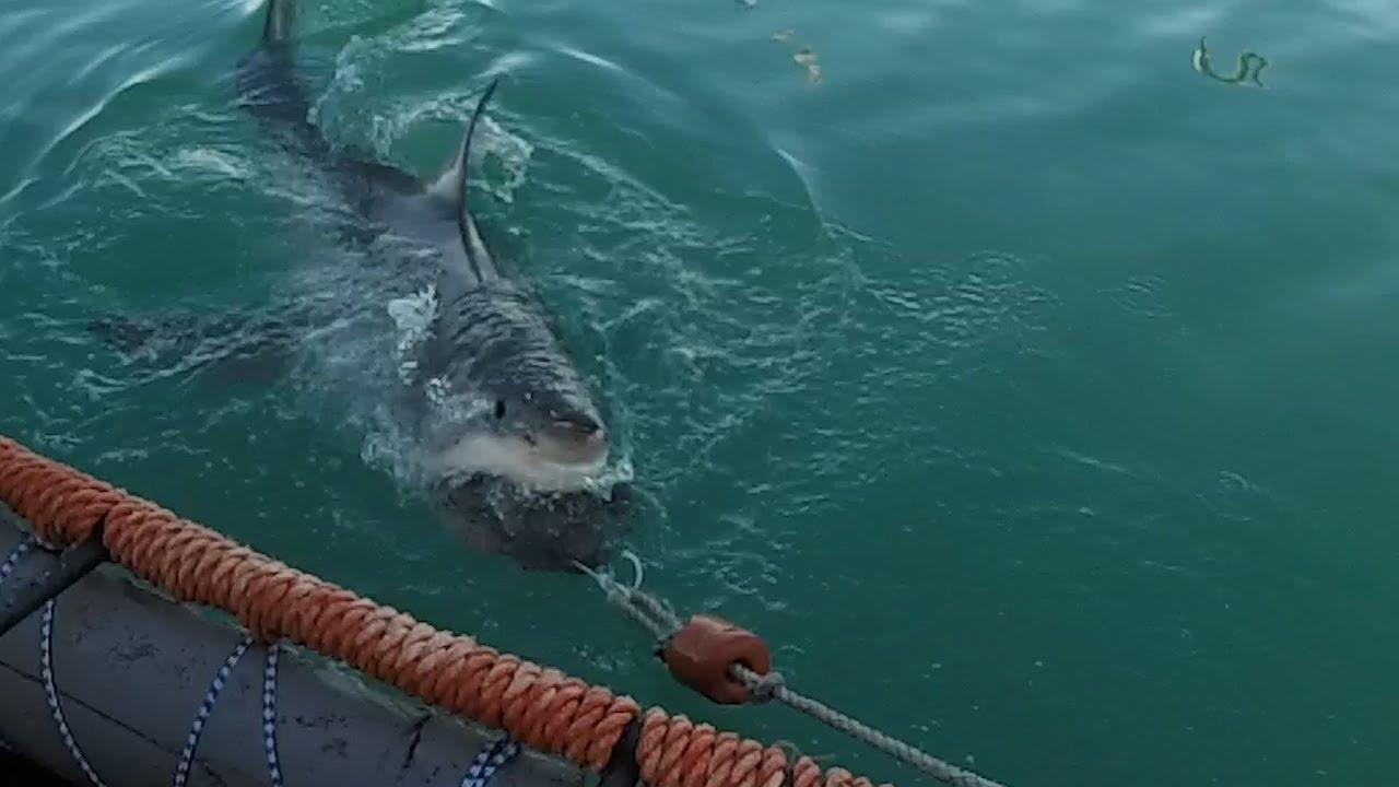 Immersione in gabbia per vedere il grande squalo bianco for Disegno squalo bianco