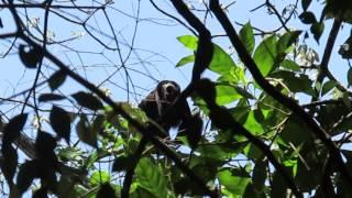 Singe hurleur, Guatemala