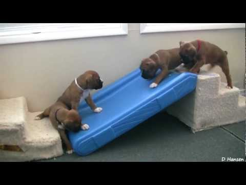 Cute 4 Week Old Boxer Puppies Playing