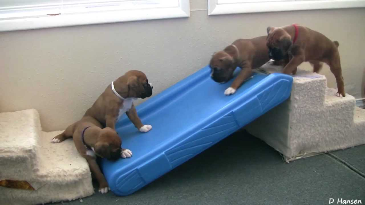 Cute 4 Week Old Boxer Puppies Playing Youtube