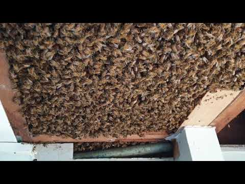 Beekeepers Called to Hive With 60,000 Bees in Brisbane Ceiling