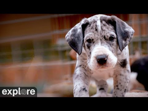 Great Danes - Service Dog Project powered by EXPLORE.org
