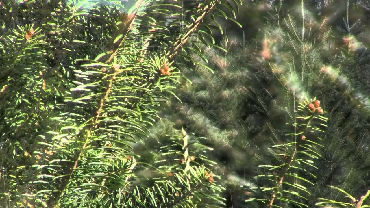 Christmas Tree Species: Canaan Fir - YouTube