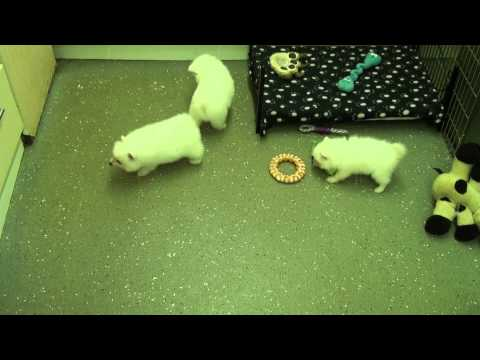 Little Rascals Uk breeders New litter of Japanese Spitz little boys