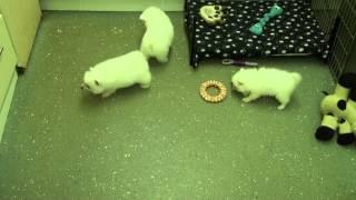 Little Rascals Uk Breeders New Litter Of Japanese Spitz Little Boys