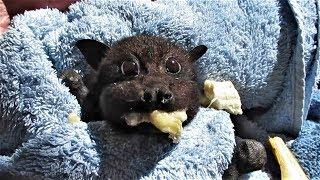 萌到融化!吃香蕉吃到「臉頰圓鼓鼓」的獲救狐蝠寶寶《國家地理》雜誌