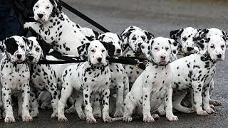 Dalmation, Puppies For Sale, In, Richmond, Virginia, West, Va, Newport, County, Alexandria, 19breede