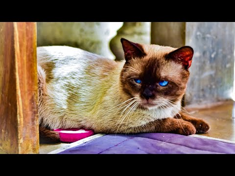 How to breed your siamese cat