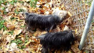 Yorkie Family Back Yard Outing