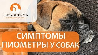 Пиометра у собак. 🐾 Как развивается пиометра у собаки и каковы способы ее лечения?