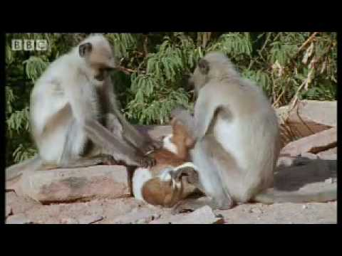 Monkeys play with cute puppy - Monkey Warriors - BBC animals