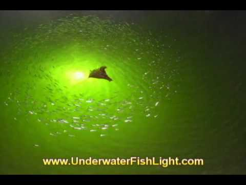 Mystery Sea Creature Invades Underwater Lights - St. James City Florida