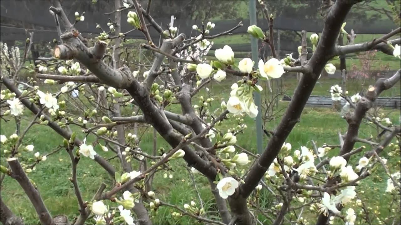 Ordinary Time Of Year To Prune Fruit Trees Part - 2: How To Prune Plum Trees - YouTube