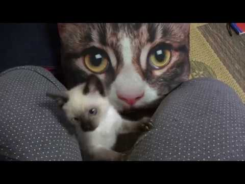 Baby Siamese kitty pleased with frightened cat pillow gift