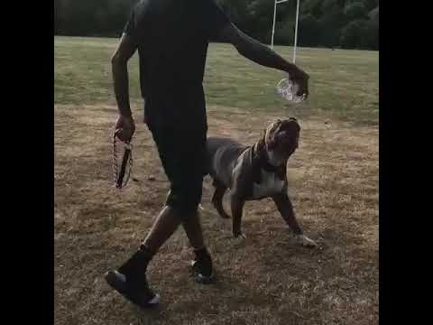 Xxl bully Caesar attack bite pitbull worldstar dog