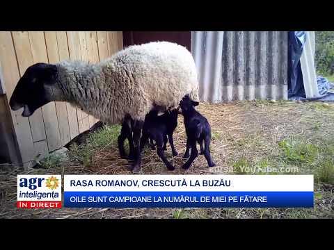 Creșterea oilor din rasa Romanov