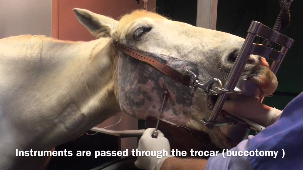 Download Minimally Invasive Trans Buccal  Cheek Tooth Extraction In the Horse