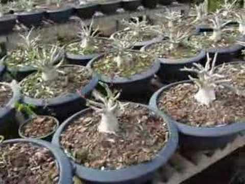 Thai Socotranum : Golden Crown Seedlings