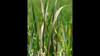 Paddy Bacterial leaf blight