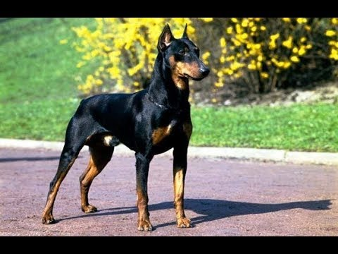 The Doberman Shepherd : Doberman + German Shepherd