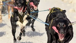 Sprint sled dog race through Anchorage